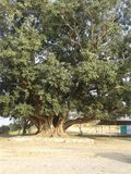 Wielki zielonawy piękno wiele roku drzewo zdjęcia royalty free