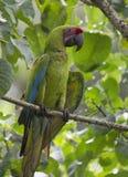 Wielki Zielony ara aronów ambiguus Zdjęcie Royalty Free