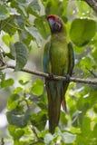 Wielki Zielony ara aronów ambiguus Zdjęcia Royalty Free