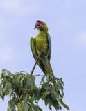 Wielki Zielony ara aronów ambiguus Zdjęcie Stock