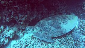 Wielki zielony dennego żółwia dosypianie na tropikalnej morze płycizny laguny rafie zbiory