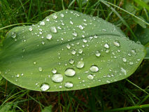 wielki zielony liścia Obraz Stock