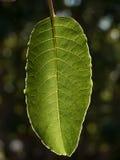 wielki zielony liścia Fotografia Stock