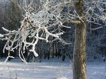 Wielki zimy drzewo w hoarfrost stojakach Profiluje widok Obraz Stock