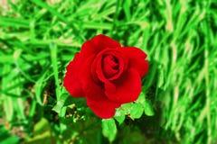 Wielki zmrok - czerwieni róża obrazy stock