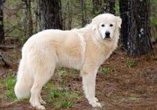 Wielkich Pyrenees bydlęcia opiekunu pies obraz stock
