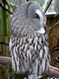 Wielkich szarość sowy profil Obrazy Royalty Free