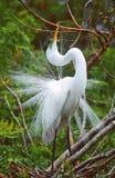wielkie białe heron zdjęcie stock
