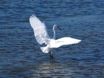 wielkie białe heron Obrazy Stock