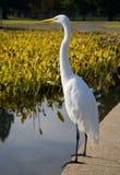 wielkie białe heron zdjęcia royalty free