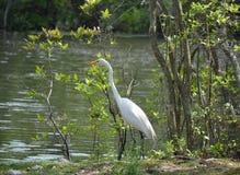 wielkie białe heron Fotografia Royalty Free