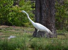 wielkie białe heron Obrazy Royalty Free