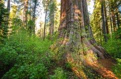wielkie calaveras stanu drzew park Obraz Royalty Free
