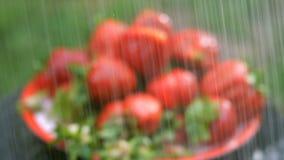 Wielkie czerwone dojrzałe truskawki nalewają deszcz od natryskownicy lub zdjęcie wideo