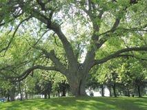 wielkie drzewo Obrazy Stock