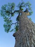 wielkie drzewo Zdjęcie Royalty Free