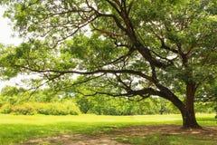 wielkie drzewo Fotografia Royalty Free