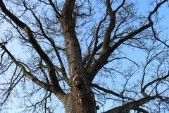 wielkie drzewo obraz royalty free