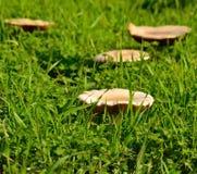 Wielkie dzikie pieczarki wśród traw Zdjęcie Stock