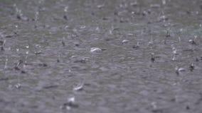 Wielkie krople Podeszczowy spadek Podczas ulewy w kałuży Wod krople zbiory wideo