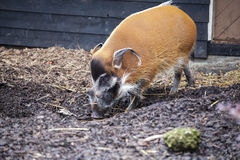 Wielkie męskie krzak świnie patrzeje dla jadalnych korzeni iść w ziemię Zdjęcia Royalty Free