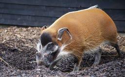 Wielkie męskie krzak świnie patrzeje dla jadalnych korzeni iść w ziemię Obrazy Royalty Free