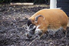 Wielkie męskie krzak świnie patrzeje dla jadalnych korzeni iść w ziemię Zdjęcie Royalty Free