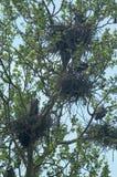wielkie niebieskie gniazda heron Zdjęcie Stock