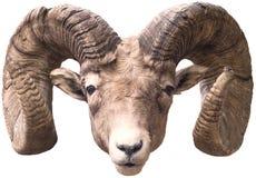 wielkie rogi owce Obraz Royalty Free