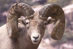 wielkie rogi owce Fotografia Royalty Free