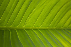 wielkie zielone liści, zdjęcia stock