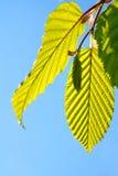 wielkie zielone liście Zdjęcia Stock