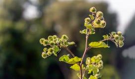 Wielkiego łopianu roślina od zakończenia obrazy royalty free