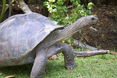 wielkiego żółwia Fotografia Royalty Free