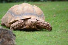 wielkiego żółwia zdjęcia royalty free