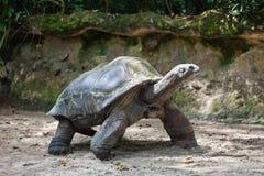 wielkiego żółwia obrazy royalty free