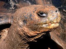 wielkiego żółwia Obraz Stock
