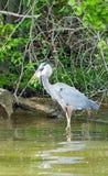 Wielkiego błękita czapla łapie ryba Zdjęcie Royalty Free
