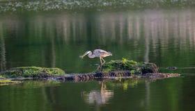 Wielkiego błękita czapla łapie ryba staw na Chesapeake zatoce Obraz Stock