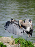 Wielkiego błękita czapla Bierze łęk przy jeziorem Zdjęcia Royalty Free