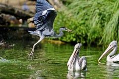 Wielkiego błękita czapla jest wielkim brodzącym ptakiem, błonie blisko brzeg otwarta woda w bagnach nad najwięcej Północna Ameryk fotografia royalty free