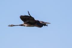 Wielkiego błękita czapla lata nad jeziorem fotografia stock