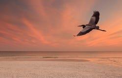 Wielkiego błękita czapla Lata Nad plażą przy zmierzchem Zdjęcie Royalty Free