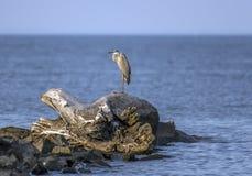 Wielkiego błękita czapla na Chesapeake zatoce Zdjęcie Royalty Free