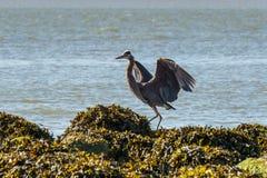 Wielkiego błękita czapla na oceanu wybrzeżu Zdjęcie Stock