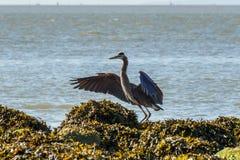 Wielkiego błękita czapla na oceanu wybrzeżu Obrazy Royalty Free