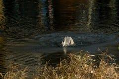 Wielkiego błękita czapla Odzyskuje Bluegill ryby od jeziora zdjęcie royalty free
