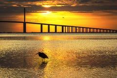 Wielkiego błękita czapla sylwetkowa przy wschodem słońca - St Petersburg, Florid Fotografia Stock