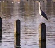Wielkiego błękita czapla w Hyde parku London fotografia royalty free