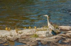 Wielkiego błękita czapla w Ontario Fotografia Stock